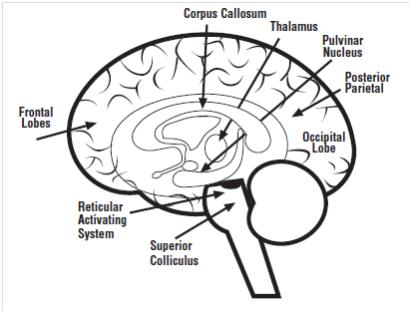 Figura 1.Diferentes áreas del cerebro implicadas en captar y centrar la